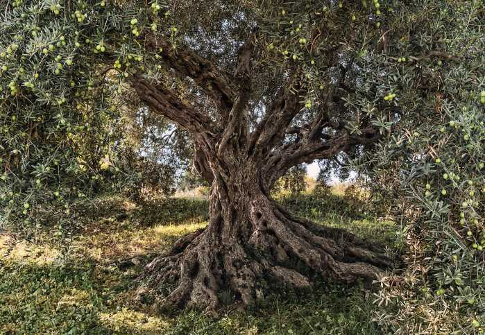 Photo murale Olive Tree