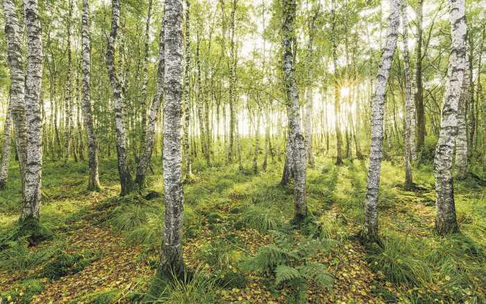 Poster XXL impression numérique Birch Trees